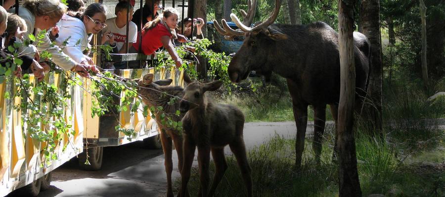Elgsafari i Smålandet
